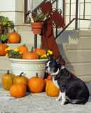 Boston Terrier and pumpkins Stock Photo