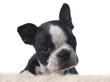 Boston terrier puppy Stock Photos