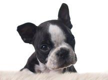 Boston terrier puppy. Isolated on white stock photos