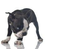 Boston terrier puppy Royalty Free Stock Photos