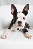 Boston Terrier Puppy. On White Chair stock photos