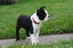 Boston Terrier Puppy. An nine week old Boston Terrier puppy standing on a sidewalk Stock Images
