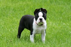 Boston Terrier Puppy. An ten week old Boston Terrier puppy walking around in the grass Royalty Free Stock Photos