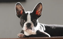 Boston terrier puppy. Cute boston terrier puppy sitting at the top of the stairs Stock Image