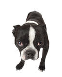 Boston Terrier Puppy. A cute Boston Terrier puppy looking at you Stock Images