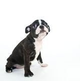 Boston Terrier Puppy Stock Photography