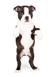 Boston Terrier Puppy Dancing On Hind Legs Royalty Free Stock Photos