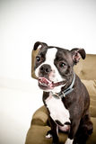 Boston Terrier puppy headshot Stock Image