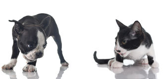 Boston terrier puppy and kitten Stock Photography