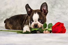 Boston terrier puppy lay dow Royalty Free Stock Images