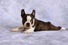 Boston terrier puppy lay down Royalty Free Stock Photos