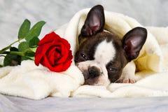 Boston terrier puppy lay down Royalty Free Stock Photo