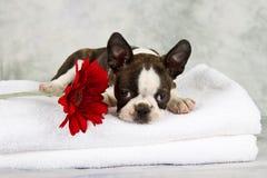 Boston terrier puppy lay down Stock Photos