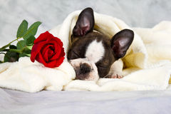Boston terrier puppy lay downl Royalty Free Stock Image