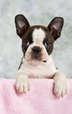 Boston terrier puppy looking out of box Royalty Free Stock Images