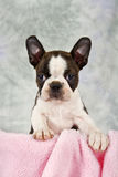 Boston terrier puppy looking out of box Stock Image