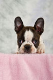 Boston terrier puppy looking out of box Stock Photography