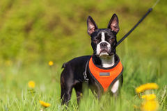Boston Terrier puppy in the meadow. Picture of a Boston Terrier puppy in the meadow Stock Image