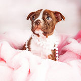 Boston Terrier Puppy in Pink Blanket Wearing Pearls Stock Photography