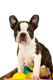 Boston terrier puppy play Stock Photos