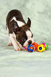 Boston terrier puppy play Royalty Free Stock Image