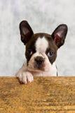 Boston terrier puppy play Stock Photos