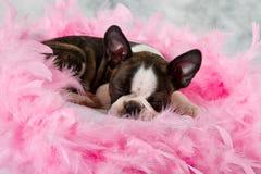 Boston terrier puppy sleep Royalty Free Stock Image