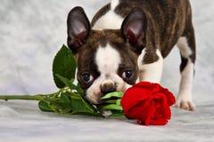 Boston terrier puppy stand Stock Photos