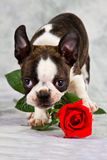 Boston terrier puppy stand Royalty Free Stock Image