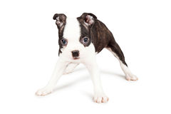 Boston Terrier Puppy Standing Legs Wide Royalty Free Stock Photos