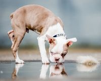 Boston terrier puppy standing walking across a puddle looking up and to the side. Camera shot from the side stock photo