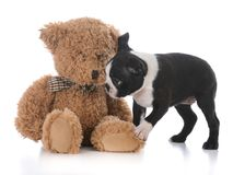 Boston terrier puppy. With stuffed teddy bear on white background Stock Images