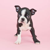 Boston Terrier Puppy Stock Photo