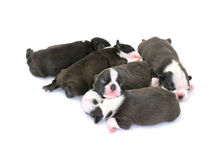 Boston Terrier Puppy. On a white background Royalty Free Stock Photography