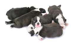 Boston Terrier Puppy on a white background. Royalty Free Stock Photography