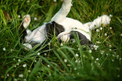 Boston Terrier Puppy Royalty Free Stock Images