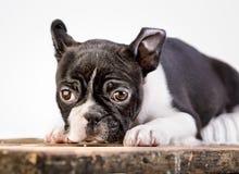 Boston Terrier Puppy Stock Photo