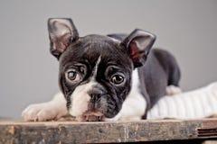 Boston Terrier Puppy Stock Photos