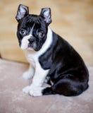 Boston Terrier Puppy Royalty Free Stock Photo