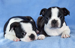 Boston terrier pups Stock Images