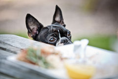 Boston Terrier in the Restaurant Stock Photography