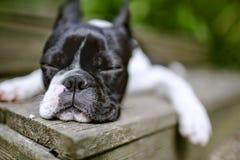 Boston Terrier Stock Image