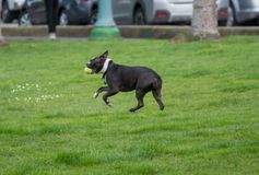Boston terrier returning with ball in mouth playing fetch stock photos