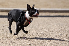 Boston Terrier running. A Boston Terrier running for his toy at the park royalty free stock photography