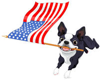 Boston Terrier Running Flag Stock Photo