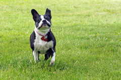 Boston Terrier runs Stock Images