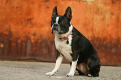 Boston Terrier Rust. A boston terrier looking tough Stock Images