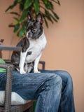 Boston Terrier sammanträde mans på varven arkivfoton