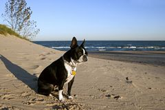 Boston Terrier sitting on beach at sunrise Stock Images