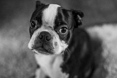 Boston Terrier sitting Stock Image